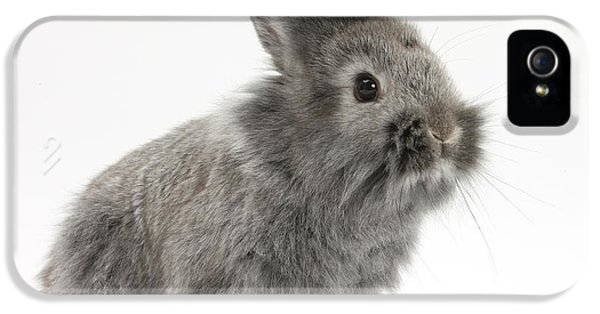 Young Rabbit iPhone 5 Cases - Young Silver Lionhead Rabbit iPhone 5 Case by Mark Taylor