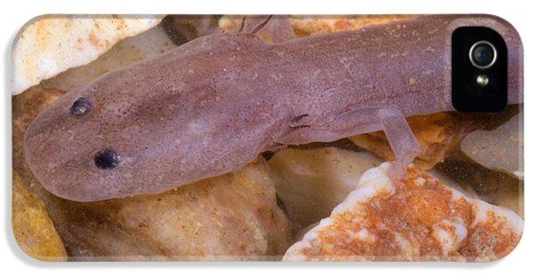 Ozark Blind Cave Salamander IPhone 5 / 5s Case by Dante Fenolio