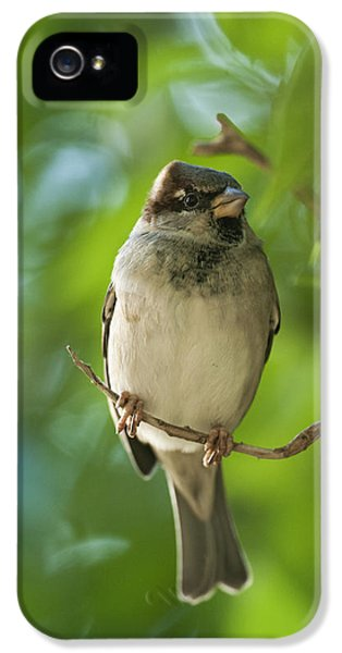 Passeridae iPhone 5 Cases - A Sparrow Perched On A Small Branch iPhone 5 Case by Ben Welsh