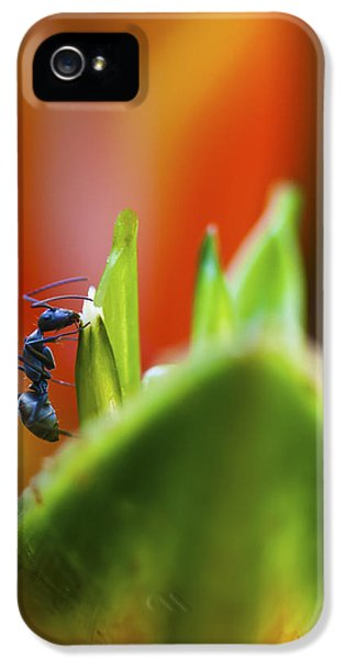 Ants iPhone 5 Cases - Ant on a Heliconia Stricta Flower iPhone 5 Case by Zoe Ferrie