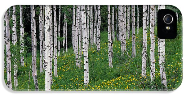 Caribous iPhone 5 Cases - Aspens in Spring iPhone 5 Case by Leland D Howard