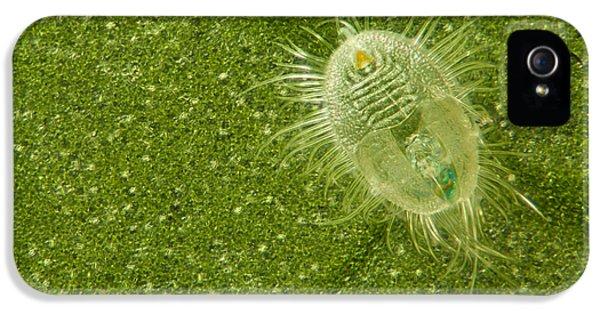 Arthropod iPhone 5 Cases - Beetle Larvae On Leaf iPhone 5 Case by Raul Gonzalez Perez