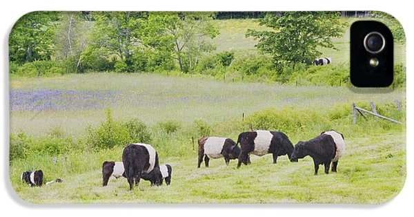 Livestock iPhone 5 Cases - Belted Galloway Cows Rockport Maine Poster Prints iPhone 5 Case by Keith Webber Jr