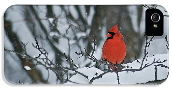 State Bird iPhone 5 Cases - Cardinal and snow iPhone 5 Case by Michael Peychich
