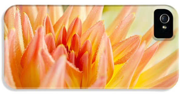 Dewdrop iPhone 5 Cases - Dahlia Flower 06 iPhone 5 Case by Nailia Schwarz