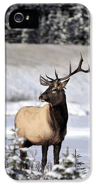 Wild iPhone 5 Cases - Elk Cervus Canadensis Bull Elk During iPhone 5 Case by Richard Wear
