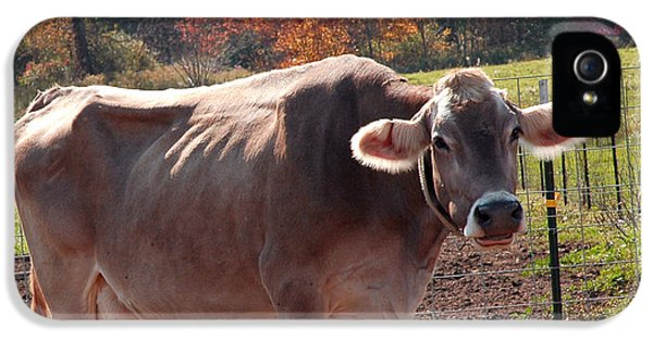 United_states iPhone 5 Cases - Fall Cow iPhone 5 Case by LeeAnn McLaneGoetz McLaneGoetzStudioLLCcom