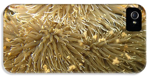 Polyp iPhone 5 Cases - Frilled Sea Anemone iPhone 5 Case by Paul Ward