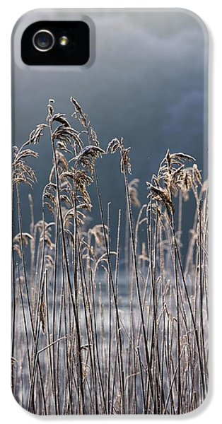 Colour Image iPhone 5 Cases - Frozen Reeds At The Shore Of A Lake iPhone 5 Case by John Short