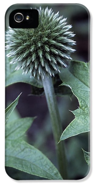 Echinops iPhone 5 Cases - Globe Thistle veitchs Blue iPhone 5 Case by Maxine Adcock