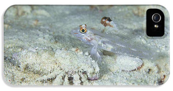 Arthropod iPhone 5 Cases - Goby With A Hermit Crab, Australia iPhone 5 Case by Todd Winner