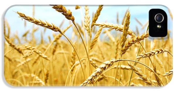 Field iPhone 5 Cases - Grain field iPhone 5 Case by Elena Elisseeva