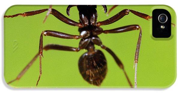 Japanese Slave-making Ant Polyergus IPhone 5 / 5s Case by Satoshi Kuribayashi