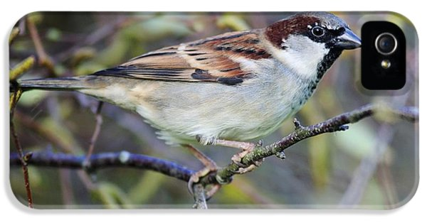 Passer Domesticus iPhone 5 Cases - Male House Sparrow iPhone 5 Case by Colin Varndell