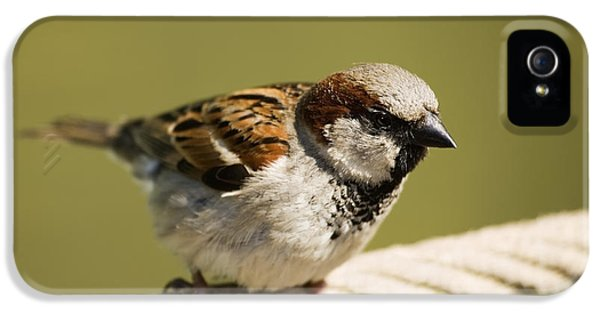 Passer Domesticus iPhone 5 Cases - Male House Sparrow iPhone 5 Case by Power And Syred