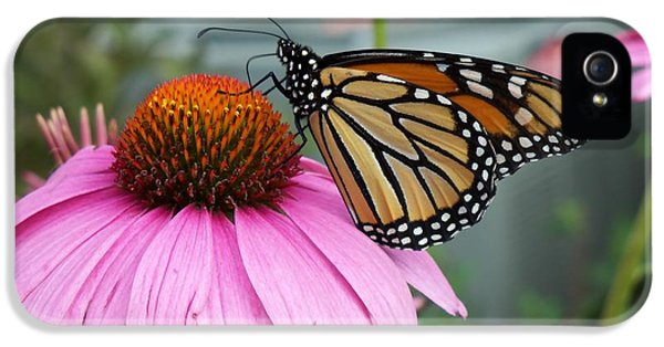 Cone Flowers And Butterflies iPhone 5 Cases - Monarch Butterfly on Cone Flower iPhone 5 Case by Corinne Elizabeth Cowherd