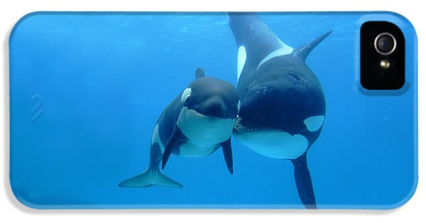 Babies iPhone 5 Cases - Orca Orcinus Orca Mother And Newborn iPhone 5 Case by Hiroya Minakuchi