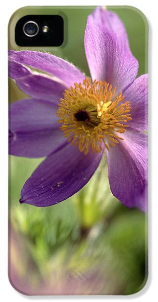 Pasque Flower iPhone 5 Cases - Pasque Flower (anemone Pulsatilla) iPhone 5 Case by Dr Keith Wheeler