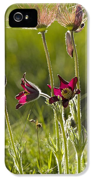 Pasque Flower iPhone 5 Cases - Pasque Flower (pulsatilla Rubra) iPhone 5 Case by Bob Gibbons