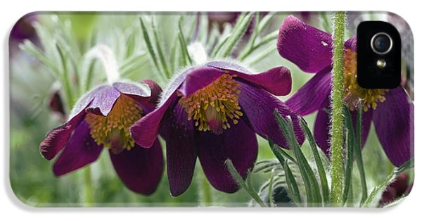 Pasque Flower iPhone 5 Cases - Pasque Flower (pulsatilla Sp.) iPhone 5 Case by Dr Keith Wheeler