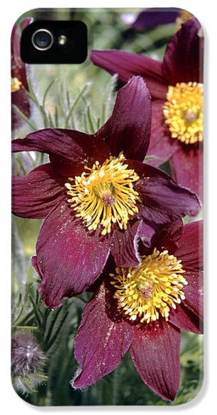 Common Pasque Flower iPhone 5 Cases - Pasque Flower (pulsatilla Vulgaris) iPhone 5 Case by Adrian T Sumner