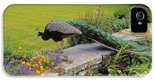 Down In The Garden iPhone 5 Cases - Peacock In Formal Garden, Kilmokea, Co iPhone 5 Case by The Irish Image Collection