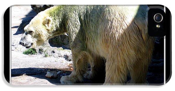 Arctic Rose iPhone 5 Cases - Polar Bear 2 iPhone 5 Case by Rose Santuci-Sofranko
