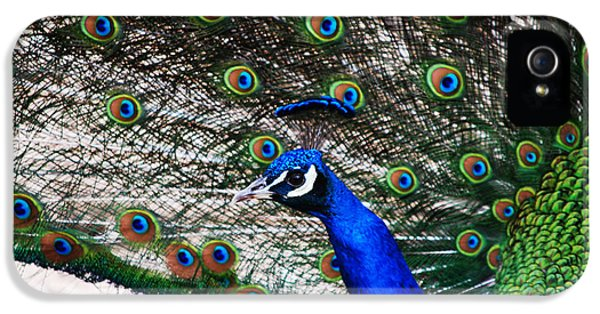 Blue Bird iPhone 5 Cases - Proud Peacock iPhone 5 Case by Sheryl Cox
