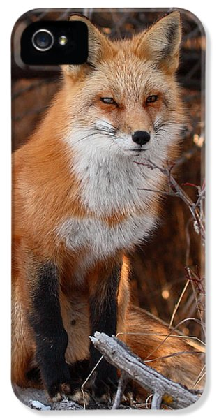 Red Fox iPhone 5 Cases - Red Fox Pausing Atop Log iPhone 5 Case by Max Allen