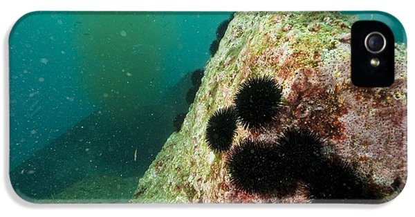 Discharging iPhone 5 Cases - Waste Water Outlet And Sea Urchins iPhone 5 Case by Alexis Rosenfeld