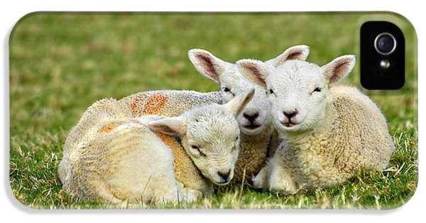 Ewe iPhone 5 Cases - We Are Three iPhone 5 Case by Meirion Matthias