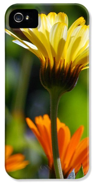 Florals iPhone 5 Cases - Yellow Daisy iPhone 5 Case by Amy Fose