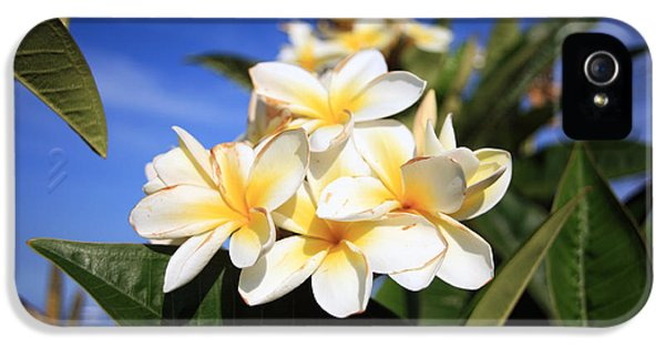 Plumerias iPhone 5 Cases - Yellow Plumeria flowers on Maui Hawaii iPhone 5 Case by Michael Ledray