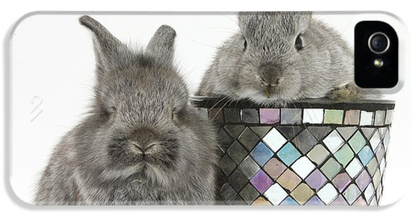 Young Rabbit iPhone 5 Cases - Young Silver Lionhead Rabbits iPhone 5 Case by Mark Taylor