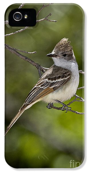 Ash-throated Flycatcher IPhone 5 / 5s Case by Anthony Mercieca