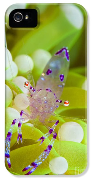 Polyp iPhone 5 Cases - Commensal Shrimp On Green Anemone iPhone 5 Case by Steve Jones