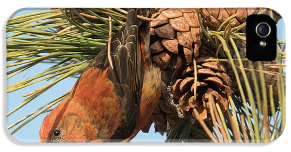 Crossbill IPhone 5 / 5s Case by Judd Nathan