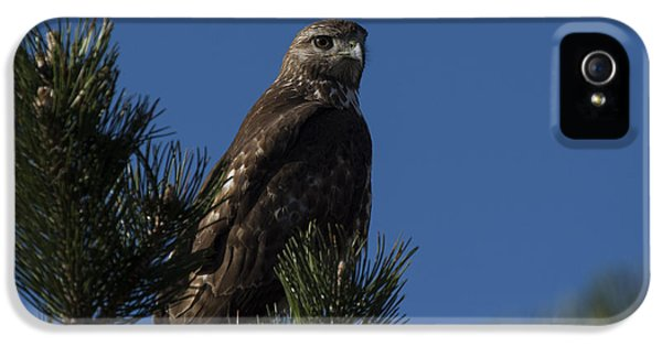 Red Tailed Hawk iPhone 5 Cases - Red Tailed Hawk iPhone 5 Case by Noah Bryant