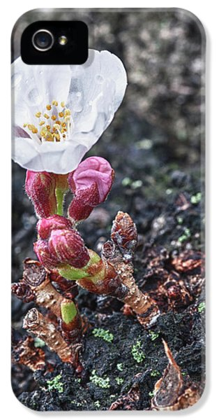 Macro iPhone 5 Cases - Cherry Blossom iPhone 5 Case by Sebastian Musial