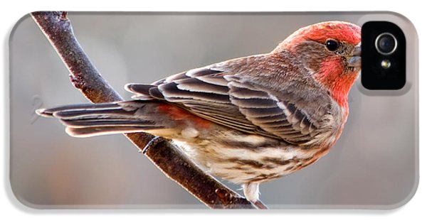 House Finch IPhone 5 / 5s Case by Betty LaRue