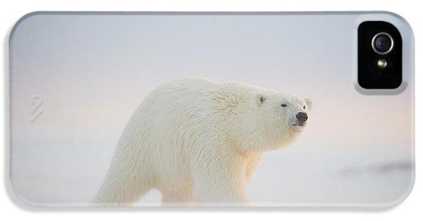Polar Bear  Ursus Maritimus , Young IPhone 5 / 5s Case by Steven Kazlowski