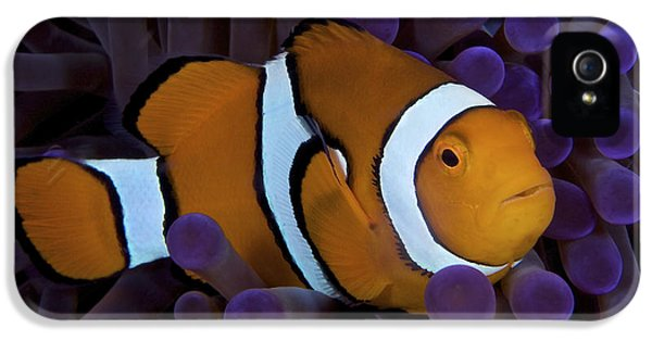 Polyp iPhone 5 Cases - False Ocellaris Clownfish In Its Host iPhone 5 Case by Terry Moore