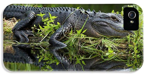 American Alligator In The Wild IPhone 5 / 5s Case by Dustin K Ryan