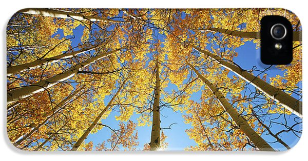 Foliage iPhone 5 Cases - Aspen Tree Canopy 2 iPhone 5 Case by Ron Dahlquist - Printscapes