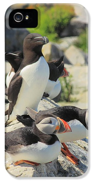 Atlantic Puffins And Razorbill IPhone 5 / 5s Case by John Burk
