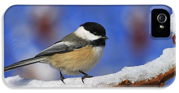 Black-capped Chickadee In Sumac IPhone 5 / 5s Case by Tony Beck