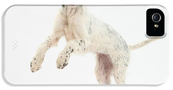 Canid iPhone 5 Cases - Blue Belton English Setter iPhone 5 Case by Mark Taylor