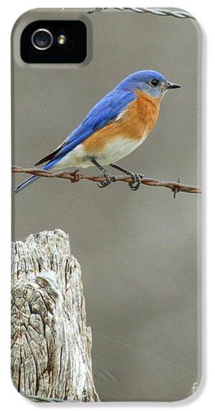 Bird Watcher iPhone 5 Cases - Blue Bird On Barbed Wire iPhone 5 Case by Robert Frederick