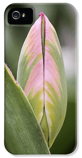 Pink Flowers iPhone 5 Cases - Budding Beauty iPhone 5 Case by Rona Black