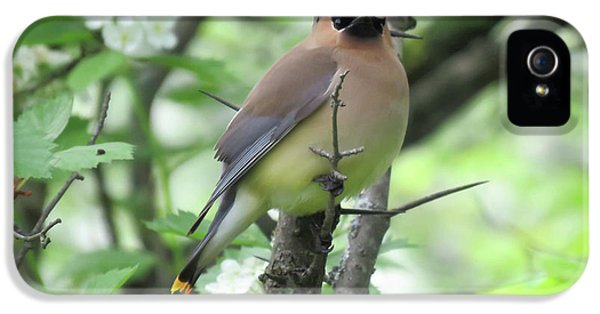 Cedar Wax Wing IPhone 5 / 5s Case by Alison Gimpel